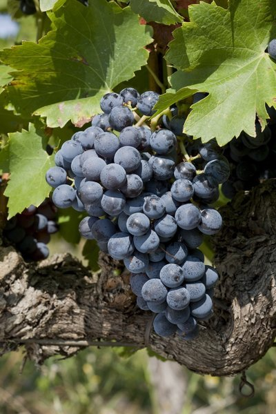 Grenache, grape of expertise